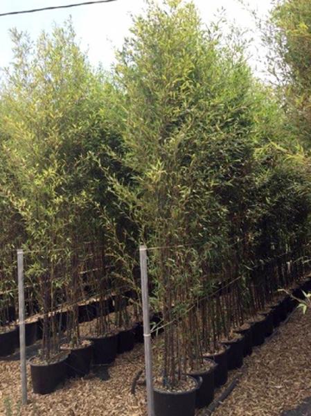 Phyllostachys nigra / schwarzer Bambus 300-350 cm im 40-Liter Container