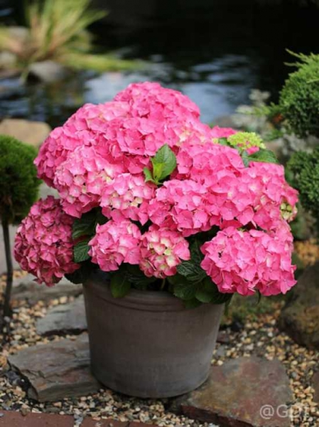 hydrangea macrophylla 39 endless summer 39 rot bauern. Black Bedroom Furniture Sets. Home Design Ideas
