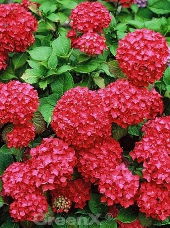 hydrangea macrophylla 39 alpengl hen 39 bauern hortensie 39 alpengl hen 39 g nstig bestellen. Black Bedroom Furniture Sets. Home Design Ideas
