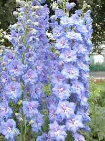 Delphinium Pacific 'Summer Skies' / Pacific-Garten-Rittersporn