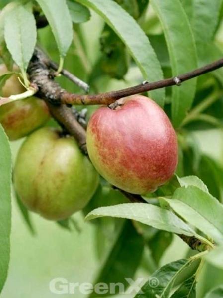 Prunus persica var. nucipersica 'Flavortop' / Nektarine 'Flavortop'