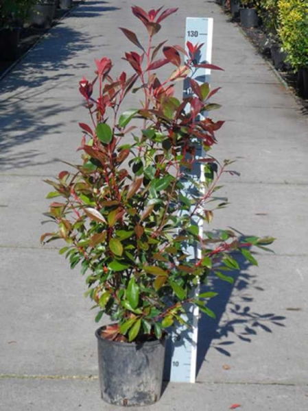 Photinia fraseri 'Red Robin' / Glanzmispel 80-100 cm im 10-Liter Container