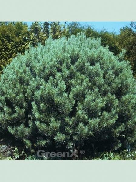 Pinus sylvestris 'Argentea Compacta' / Silbergraue Zwerg-Kiefer 'Argentea Compacta'