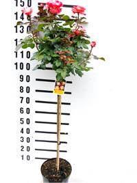 Stamm 90 cm