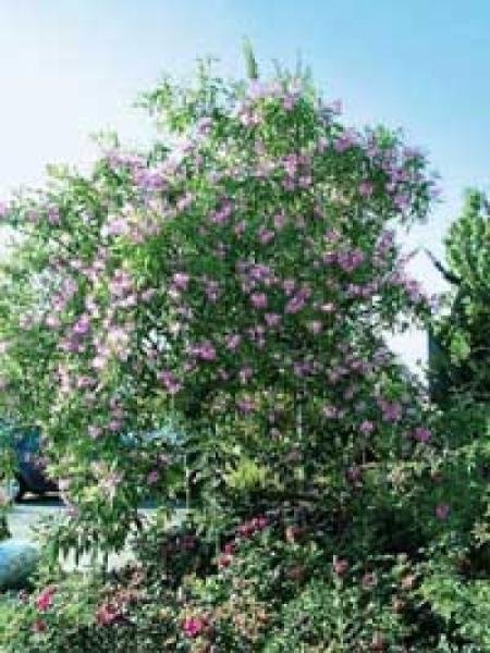 Chitalpa tashkentensis 'Pink Dawn' / Schmalblättriger Trompetenbaum 'Pink Dawn' / Baumoleander 'Pink Dawn'
