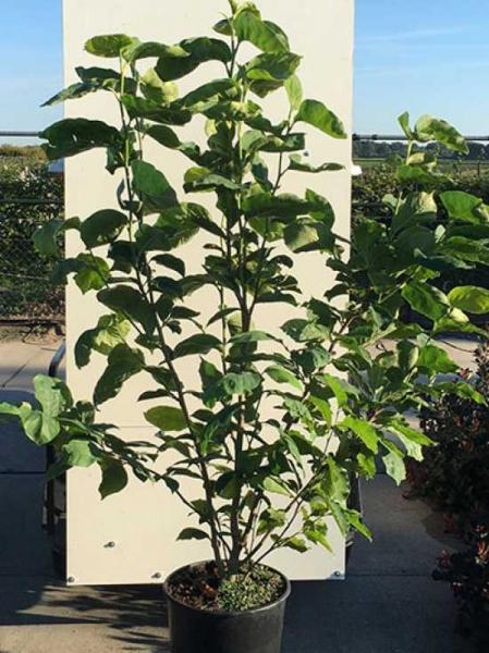 Magnolia acuminata 'Yellow Lantern' / Gurken-Magnolie 'Yellow Lantern'