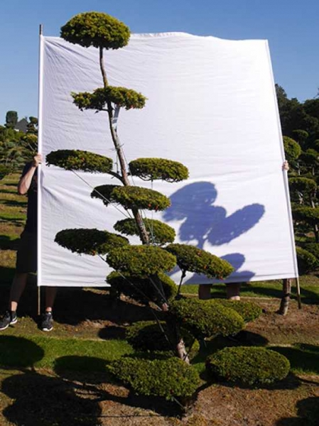 Taxus baccata 'Semperaurea' H: 250 cm B: 140 cm / Garten-Bonsai (0140)