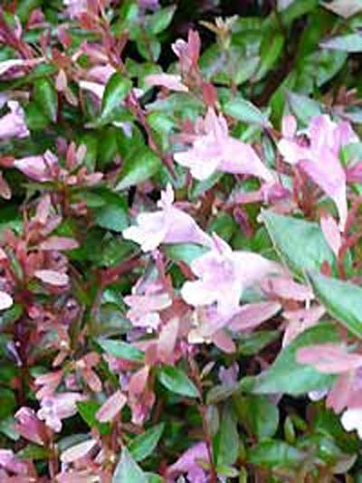 Abelia grandiflora 'Edward Goucher' / Großblumige Abelie 'Edward Goucher'