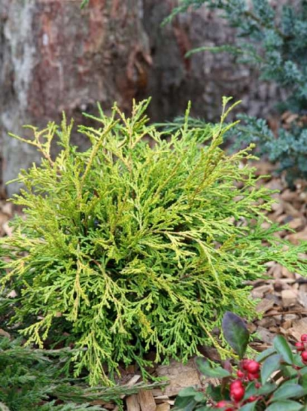 Chamaecyparis obtusa 'Kamarachiba' / Zwerg-Hinoki-Scheinzypresse 'Kamarachiba'