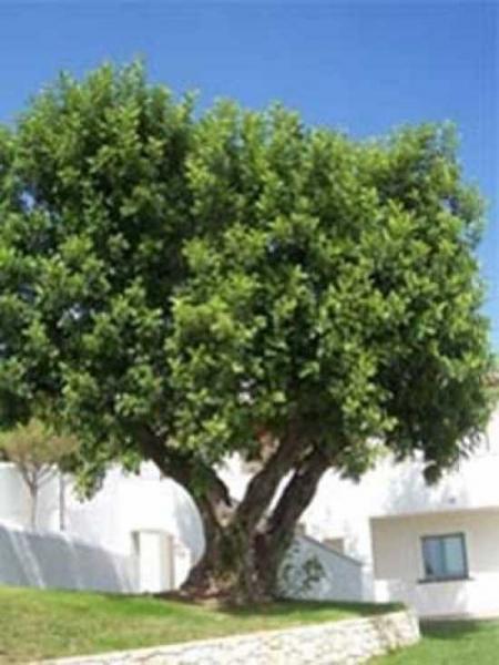 Ceratonia siliqua / Johannisbrotbaum