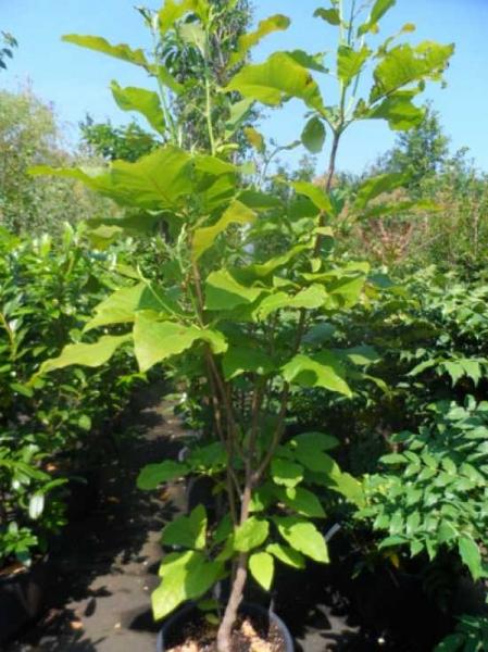 Magnolia macrophylla / Großblättrige Magnolie