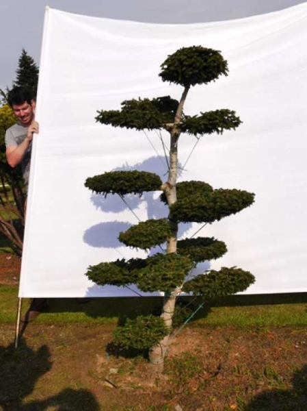 Picea orientalis 'Aurea' H: 180 cm B: 110 cm / Garten-Bonsai (0052)