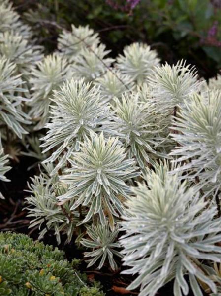 Euphorbia characias 'Tasmanian Tiger' / Mittelmeer-Wolfsmilch