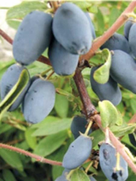 Lonicera caerulea 'Sinoglaska' / blaue Heckenkirsche / Sibirische Blaubeere 'Sinoglaska'