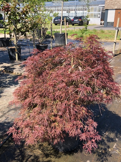 Acer palmatum 'Tamukeyama' / Fächer-Ahorn / Japanischer Ahorn 100-120 cm (1071)
