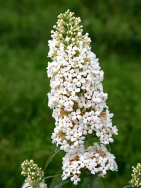 Buddleja davidii 'Marbled White'® / Sommerflieder 'Marbled White'®