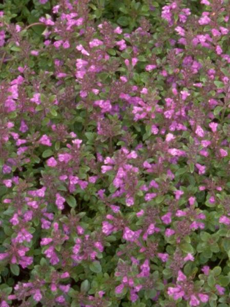 Thymus pulegioides / Arznei-Thymian, Quendel