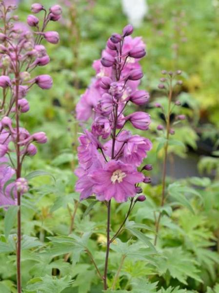 Delphinium pacific 'Astolat' / Garten-Rittersporn