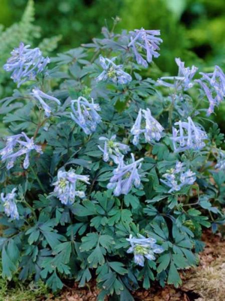 Corydalis flexuosa 'Purple Leaf' / Gebogener Garten-Lerchensporn