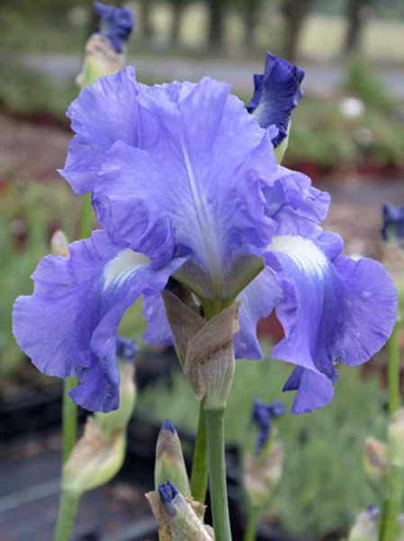 Iris barbata-elatior 'Victoria Falls' / Hohe Bart-Iris 'Victoria Falls'