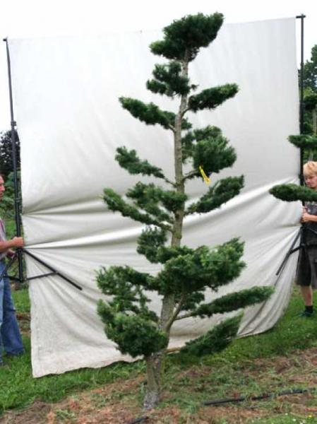 Larix decidua H: 280 cm B: 150 cm / Garten-Bonsai (801102)