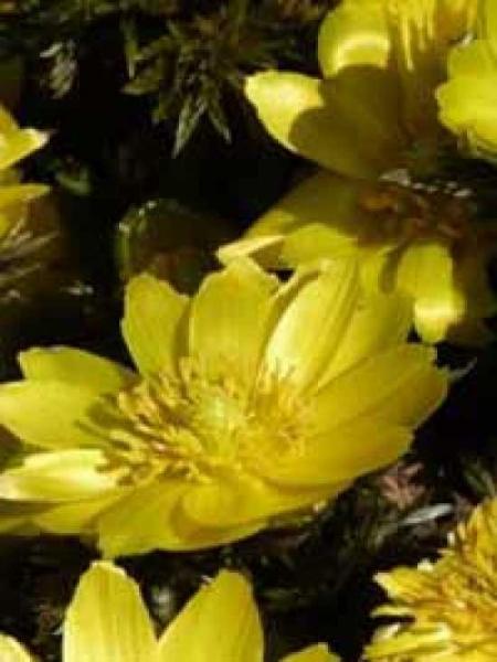 Adonis amurensis / Amur-Adonisröschen