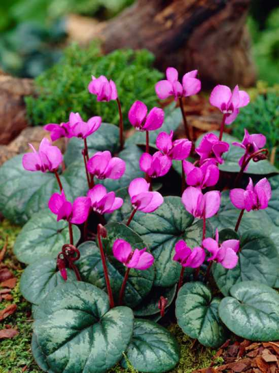 cyclamen coum fr hlings garten alpenveilchen g nstig kaufen. Black Bedroom Furniture Sets. Home Design Ideas