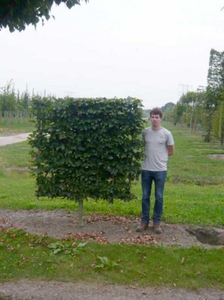 Fagus sylvatica / Rotbuche 'Boden-Spalier' H:150 B:150 T:20 (Stamm 50 cm)