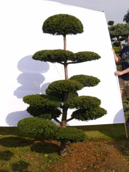 Taxus baccata H: 200 cm B: 130 cm / Garten-Bonsai (0038)