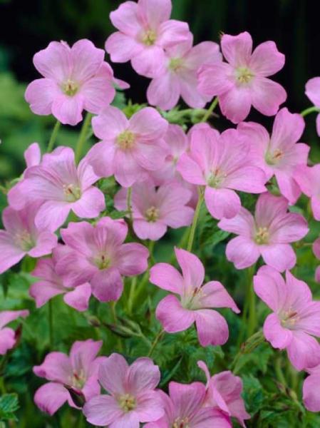 Geranium endressii 'Wargrave Pink' / Pyrenäen-Storchschnabel