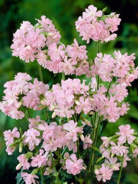 Saponaria officinalis 'Rosea Plena' / Gefülltes Garten-Seifenkraut