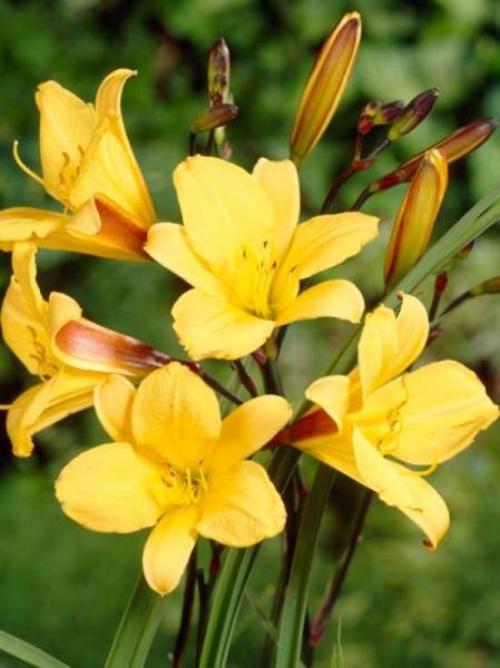 Hemerocallis Hybride 'Corky' / Taglilie