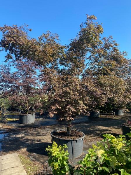 Acer palmatum 'Atropurpureum' 300-325breit x 350-400hoch / Roter Fächerahorn 300-325breit x 350-400hoch (Nr.73)