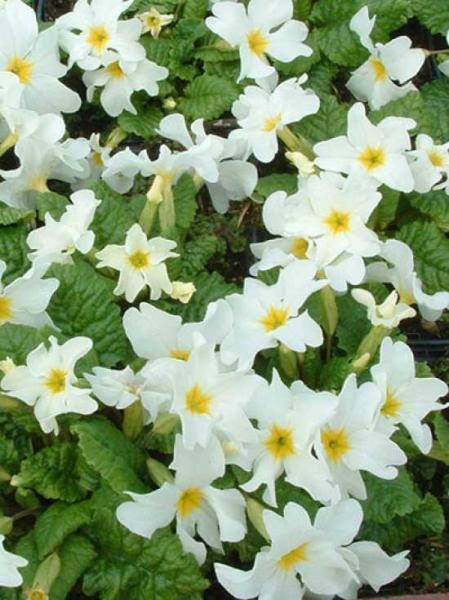 Primula pruhoniciana 'Schneeriesin' / Garten-Teppich-Primel