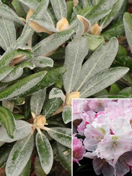 Rhododendron yakushimanum 'Mist Maiden' / Rhododendron 'Mist Maiden'