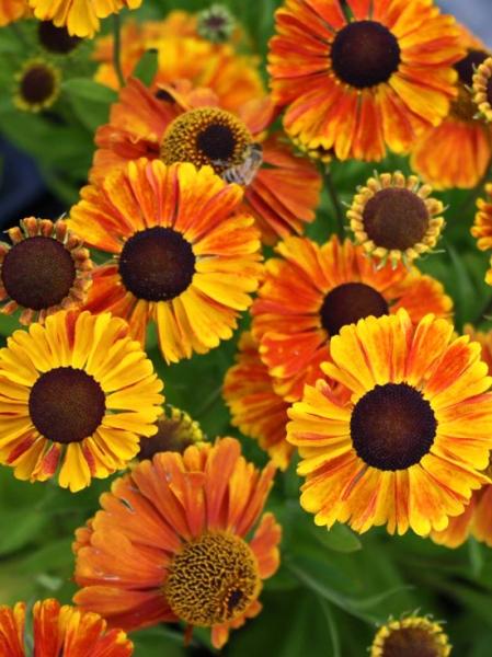Helenium hybride 'Sahins Early Flowerer ®' / Sonnenbraut