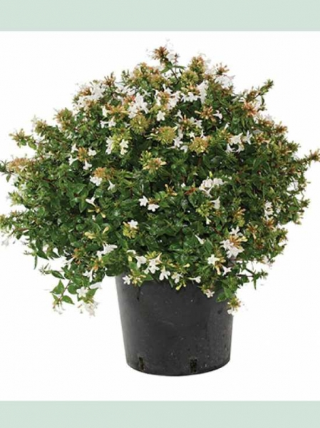 Abelia grandiflora 'Prostrata' / Großblumige Abelie 'Prostrata'