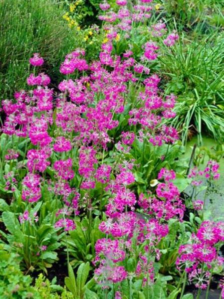 Primula beesiana / Etagen-Primel