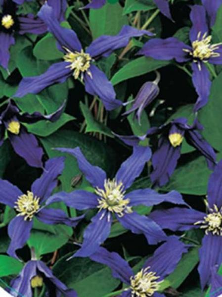 Clematis intergrifolia 'Blue Sensation' / Waldrebe 'Blue Sensation'