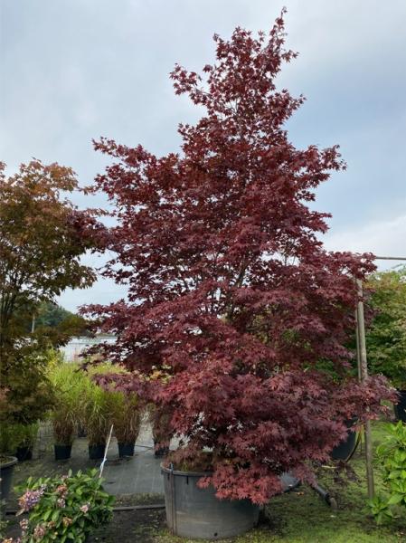 Acer palmatum 'Bloodgood' 300-350 cm breit x 400-450 cm hoch / Fächer-Ahorn (Nr.39)