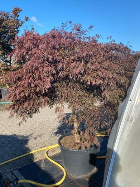 Acer palmatum 'Inaba shidare' Kronenbreite 175-200 cm (Nr.285) / Fächerahorn 'Inaba shidare' / Japanischer Ahorn Kronenbreite 175-200cm (Nr.285)