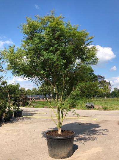 Acer palmatum 'Seiryu' / Japanischer Ahorn / Fächerahorn 'Seiryu' 300-350 cm (7114)