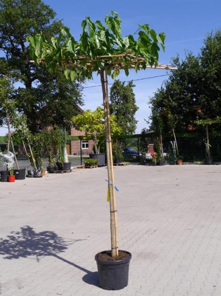 Morus alba 'Fruitless' Dachspalier / Weißer Maulbeerbaum 'Fruitless'