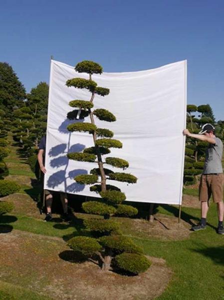 Taxus baccata 'Semperaurea' H: 270 cm B: 110 cm / Garten-Bonsai (0182)
