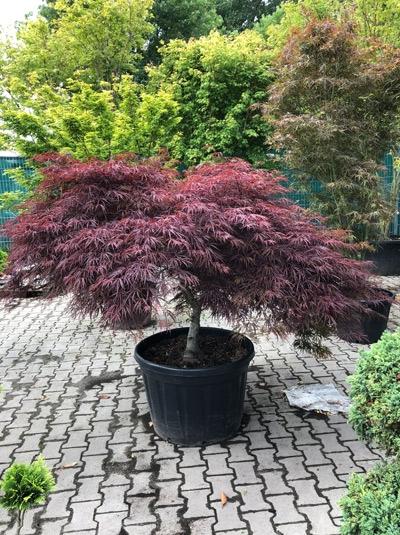 Acer palmatum 'Tamukeyama' / Fächer-Ahorn / Japanischer Ahorn 200-250 cm breit (1226)