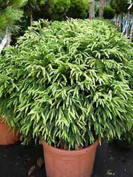 Cryptomeria japonica 'Globosa Nana' / Zwerg-Hahnenkamm-Sicheltanne