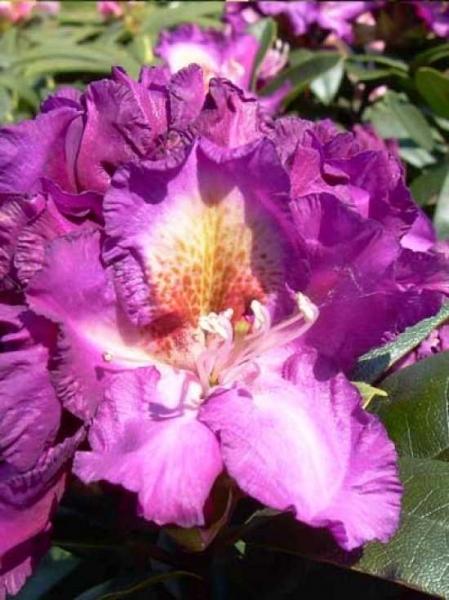 Rhododendron Hybride 'INKARHO Tamarindos' / Rhododendron 'INKARHO Tamarindos'
