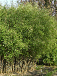 Bambus Fargesia Nitida