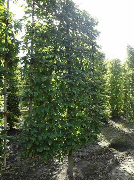 Carpinus betulus / Hainbuche / Weißbuche 'Boden-Spalier' H:250 B:160 T:20 (Stamm 50 cm)