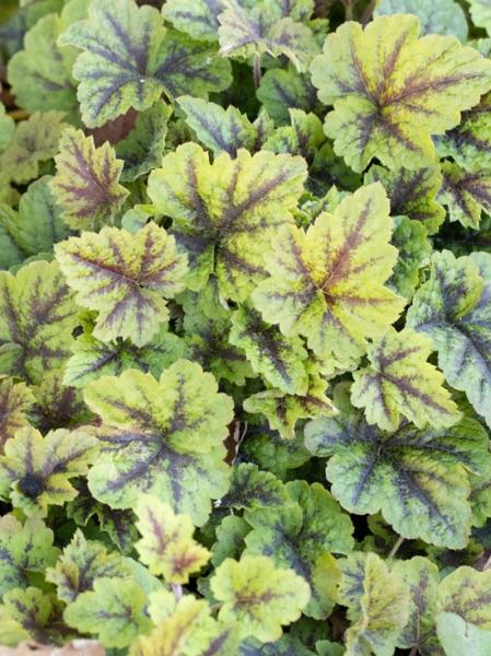 Tiarella cordifolia Sunset Ridge ® /